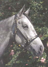 Courbette Replacement Crown For Track And Stable Halter