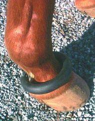 horse Fetlock Ring